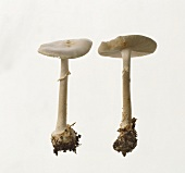Two white death cap mushrooms