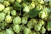 Hops with leaves (filling the picture)