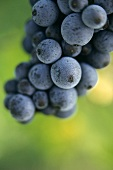 Pinot Noir grapes in Alsace
