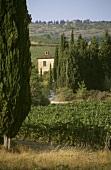 Rignana Chianti vineyard behind cypresses; Greve, Tuscany
