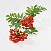 Rowan berries with branch