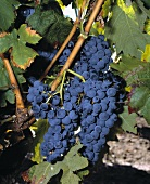 Red wine grapes on the vine (Tempranillo variety)