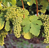 White wine grapes, Roussanne variety, on the vine