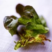 Oak-leaf lettuce