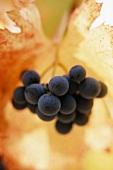 Syrah grapes against mottled autumn leaf