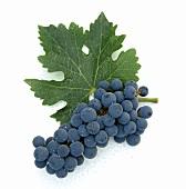 Cabernet-Sauvignon-Traube mit Weinblatt