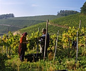 Grape picking in vineyard of Staufenberg Castle, Durbach, Baden