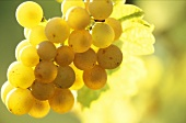 Gewurztraminer Grapes in Alsace
