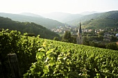 Vineyard near the wine town of Andlau in Alsace, France