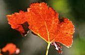 Rotes Weinblatt im Herbst, Pomerol, Boredaux, Frankreich