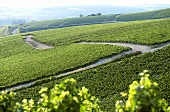 Extensive vineyards near Chablis, Burgundy, France