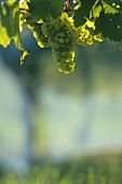 Riesling grapes on the vine in Alsace, France