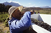 Harvest worker tasting the grapes, Kanonkop, S. Africa