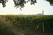 Vineyard at dawn in Pomerol, France