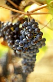 Red wine grapes for Chianti in Tuscany, Italy