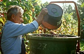 Grape picker tipping grapes into a container, Hagnau