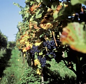 Vine rows with Burgundy grapes, Hagnau, Lake Constance, Germany