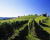 Weinberg von Clos Uroulat bei Monein, Pyrenäen, Frankreich