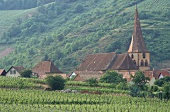 Vineyard outside village of Niedermorschwihr, Alsace, France