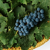 Cabernet-Sauvignon grapes on vine leaves in a basket