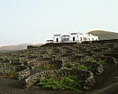 Reminiscent of a lunar landscape, wine growing in Lanzarote