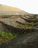 Very fertile layers of sand produce good wine, Lanzarote