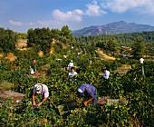 Cabernet Sauvignon Lese im Weinberg von Carras, Griechenland