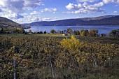 Vine Valley vineyards above Lake Canandaigua, New York, USA