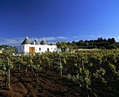 Vineyard beside trullo (stone house) Martina Franca, Apulia