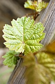 Young Riesling vine leaves in vineyard, Winningen, Mosel