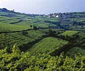 View over the vineyards of La Fitta, Veneto, Italy