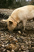 Truffle pig burrowing in the earth