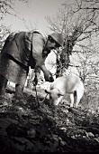 Farmer's wife with truffle pig hunting truffles