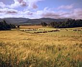 Blick auf ein Weizenfeld im schottischen Spey Valley