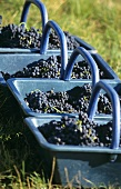 Red wine grapes in blue baskets at grape harvest in Burgundy