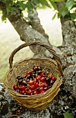 Basket with cherries on the tree