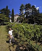 Vine grower Lunelli inspecting grapes (Ferrari estate,Trentino)