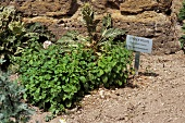 Lemon balm in herb garden