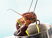 Lifting boiled lobster out of the water with tongs