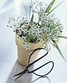 Flowering garlic chives in flower pot, scissors in front