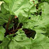Rhubarb plant (outside)