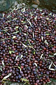 Harvest Black Olives