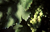 Welschriesling grapes in autumn shade