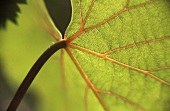 Vine leaf (close-up)