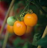 Orange tomatoes on the plant