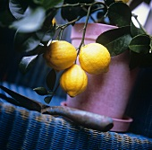 Small lemon tree with ripe lemons in flowerpot