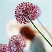 Giant pink onion flowers (Allium giganteum, ornamental onion)