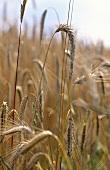 Ripe barley ears in the field