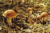 Red boletus on forest floor