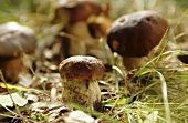 Ceps on the forest floor